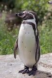 Перуанский пингвин Стоковые Фотографии RF