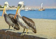 2 перуанских пеликана Стоковое фото RF