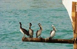 4 перуанских пеликана Стоковая Фотография RF