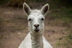 Перуанское вид спереди альпаки Стоковая Фотография RF