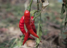 Перцы Chili Стоковая Фотография