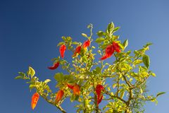 Перцы chili Bhut Jolokia зрея Стоковые Фото