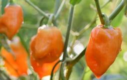 Перцы Habanero растя в саде Стоковые Изображения