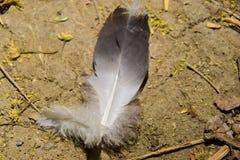 Пер голубя черепахи Стоковые Изображения