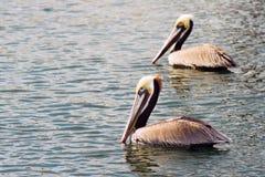 Пер животного залива Сан-Диего птицы пеликана Брайна одичалые Стоковое фото RF