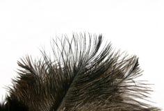 пер изолировали страуса стоковые изображения rf