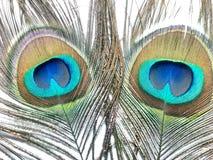 Пер павлина или Peahen Стоковые Фотографии RF