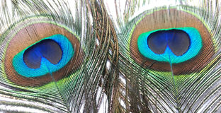 Пер павлина или Peahen Стоковая Фотография RF