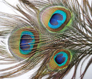 Пер павлина или Peahen Стоковое Изображение