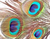 Пер павлина или Peahen Стоковые Изображения