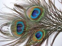 Пер павлина или Peahen Стоковая Фотография