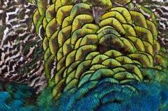 Пер птицы (павлин) Стоковая Фотография RF