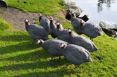 Пер птицы утки цыпленка птицы Galeeny Galliney Guineafowl Гвинеи собираются озеро пруда травы стоковая фотография