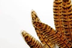 Пер фазана на белой предпосылке Стоковая Фотография RF