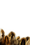 Пер фазана на белой предпосылке Стоковые Изображения RF
