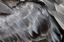 Пер черного лебедя Стоковое Фото