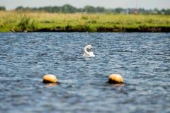 Пер чистки olor Cygnus безгласного лебедя Стоковое Изображение