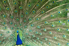 Пер Dispaying павлина яркие сделанные по образцу Стоковое Фото
