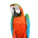 Пер Macaw шарлаха Стоковые Изображения RF