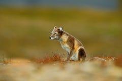 Песец, белая куропатка лисицы, 2 детеныша, в среду обитания природы, засевает луг травой с цветками, Свальбард, Норвегия Стоковые Изображения
