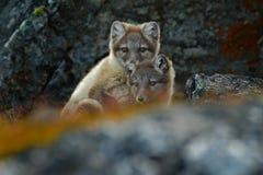 Песец, белая куропатка лисицы, 2 детеныша, в среду обитания природы, засевает луг травой с цветками, Свальбард, Норвегия стоковое изображение