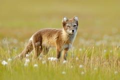 Песец, белая куропатка лисицы, милый животный портрет в среду обитания природы, луг с цветками, Свальбард травы, Норвегия Приполю стоковое изображение rf