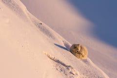 Песец Стоковая Фотография RF