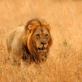 пески sabi льва Стоковые Изображения