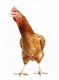 песни курицы Стоковая Фотография