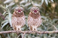 Песня для 2 цыпленоков стоковое фото rf