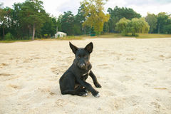 Песок бездомной собаки на пляже Стоковые Изображения