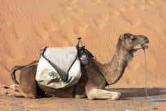 песок верблюда Стоковое Изображение RF