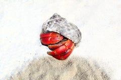 песок красного цвета Мексики затворницы рака пляжа legged Стоковые Изображения RF