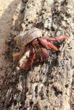 песок красного цвета Мексики затворницы рака пляжа legged Стоковое фото RF