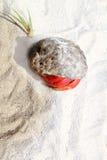 песок красного цвета Мексики затворницы рака пляжа legged Стоковые Фотографии RF