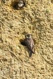 Песок Мартин на отверстии гнезда Стоковое Изображение