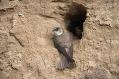 Песок Мартин, riparia Riparia стоковые изображения rf