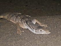 песок монитора ящерицы пустыни Стоковые Фотографии RF