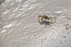 песок рака пляжа Стоковая Фотография