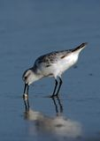 песок рака sanderling Стоковое Фото