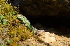песок ящерицы Стоковое Изображение RF