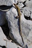 песок ящерицы lacerta agilis Стоковое Фото