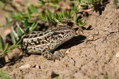 песок ящерицы lacerta agilis Стоковые Изображения