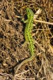 песок ящерицы lacerta agilis Стоковая Фотография