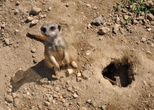 песок meerkat Стоковые Изображения