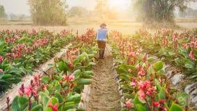 Пестицид плантатора распыляя в разделе Canna на заходе солнца стоковая фотография rf