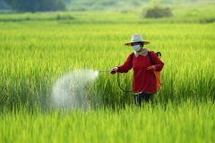 Пестицид, фермеры распыляя пестицид в защитной одежде поля риса нося стоковая фотография