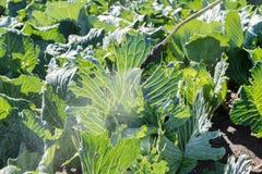 Пестицид фермера распыляя Стоковое Изображение RF