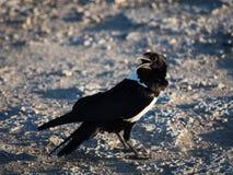 Пестрая африканская ворона стоковые фото