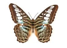 Пестрая бабочка на белой предпосылке Стоковое Изображение RF
